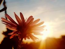 It& x27;s a wild flower that looks like the sun. Royalty Free Stock Image
