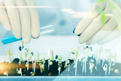 (SCIENCE) Scientists working women took the sprouts are beginnin Royalty Free Stock Images