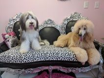 Bearded collie and St. poodle royalty free stock photography