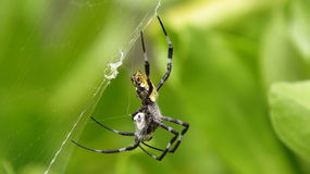 X Spider Building Web Royalty Free Stock Photography