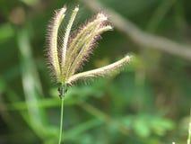 & x28; Swallen Fingergrass, fingergrass& x29; fingergräs som försiktigt svänger suddigt Royaltyfria Foton