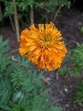 & x22; Tagete & x22; fiore giallo Fotografia Stock Libera da Diritti