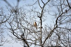 Very Large and Thick Red Tailed Hawk Calling by ZDS. This 6000 x 4000 uncropped photo shows a very large red tailed hawk in the act of calling Stock Images