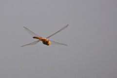 X WingDragonfly in de lucht Stock Afbeelding