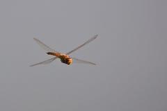 X WingDragonfly en el aire imagen de archivo