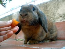 """Do I bite the carrot or the finger?"" Royalty Free Stock Photography"