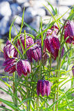Xadrez côr de avelã do galo silvestre da flor decorativa (latim Meleagris do Fritillaria) Fotos de Stock