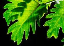 Xanadu blad Fotografering för Bildbyråer