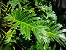 Xanadu del Philodendron Fotografia Stock