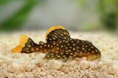 Xanthellus dourado de Plecostomus L-018 Baryancistrus do peixe-gato do pleco da pepita Imagem de Stock