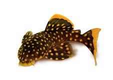 Xanthellus dourado de Plecostomus L-018 Baryancistrus do peixe-gato do pleco da pepita Foto de Stock