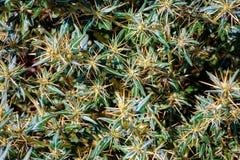 Xanthium spinosum yellow. Xanthium spinosum L. medicinal plant with sharp yellow needles. Natural drug from dysentery adenoma pokee larynx. anti-inflammatory royalty free stock photos