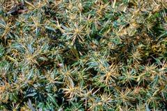 Xanthium spinosum yellow. Xanthium spinosum L. medicinal plant with sharp yellow needles. Natural drug from dysentery adenoma pokee larynx. anti-inflammatory royalty free stock photo