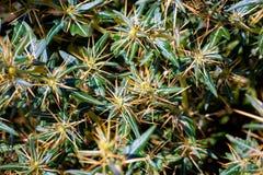 Xanthium spinosum yellow. Xanthium spinosum L. medicinal plant with sharp yellow needles. Natural drug from dysentery adenoma pokee larynx. anti-inflammatory stock photos