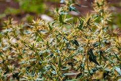 Xanthium spinosum yellow. Xanthium spinosum L. medicinal plant with sharp yellow needles. Natural drug from dysentery adenoma pokee larynx. anti-inflammatory stock photo