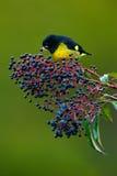 xanthogastra Amarillo-hinchado de Siskin, del Carduelis, pájaro amarillo y negro tropical comiendo las frutas azules y rojas en e Fotos de archivo libres de regalías