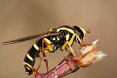 Xanthogramma species. A species of Xanthogramma, hoverfly, photographed in nature royalty free stock image