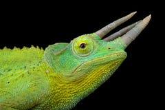 Xantholopus jacksonii Trioceros χαμαιλεόντων του κίτρινος-λοφιοφόρου Τζάκσον στοκ εικόνες με δικαίωμα ελεύθερης χρήσης