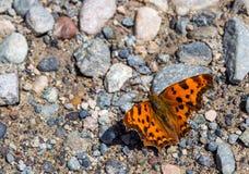 Xanthomelas do Nymphalis da borboleta de concha de tartaruga Fotos de Stock Royalty Free