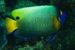Xanthometopon Pomacanthus - голубая рыба ангела стороны Стоковые Фотографии RF