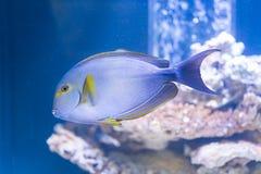 Xanthopterus d'Acanthurus - surgeonfish de truite saumonnée Image stock