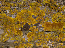 xanthoria parietina λειχήνων κίτρινο Στοκ Εικόνες
