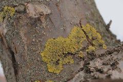 Xanthoria Parietina 在树干-接近的黄色地衣 库存图片