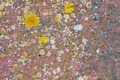 Xanthoria parietina, elegans, orange lichen, yellow scale, maritime sunburst lichen and shore lichen on a stone wall.  royalty free stock photo