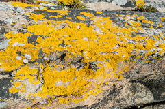 Xanthoria parietina or golden shield lichen. Xanthoria parietina, a foliose, or leafy, lichen also known as golden shield lichen, common orange lichen, yellow Stock Photos