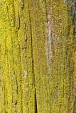Xanthoria Parietina Gul lav på trädstammen - bakgrundsmodell Arkivbilder