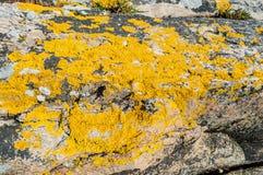 Xanthoria-parietina oder goldene Schildflechte stockfotos