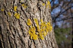 Xanthoria parietina, Orange Lichen, Yellow Lichen growing on three, close up photo. Yellow scale, maritime sunburst lichen and shore lichen royalty free stock photography