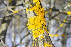 Xanthoria postenno lat. Xanthoria parietina is a foliose lichen orange or yellow. This is one of the few lichens with a Russian `name`. For color Xanthoria Stock Photos