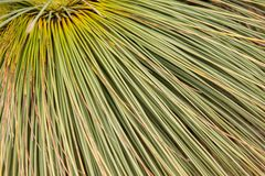 Xanthorrhoea, árvore nativa australiana Imagem de Stock Royalty Free