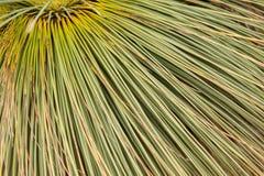 Xanthorrhoea, Australian native tree Royalty Free Stock Image