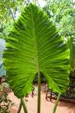 Xanthosoma,  elephant's ear. Green giant leaf Stock Photos