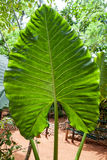 Xanthosoma, het oor van de olifant Groen reuzeblad stock foto's