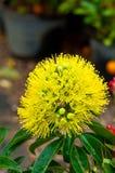 Xanthostemon-chrysanthus Fotografia Stock