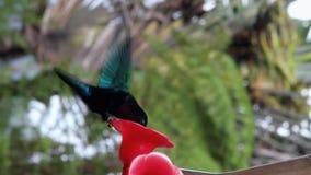 Xarope bebendo do colibri na calha de alimentação filme