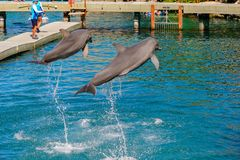 Xcaret park, Mexico. XCARET, MEXICO - NOV 7, 2016: Dolphins jump in the Xcaret,  Maya civilization archaeological site, Yucatan Peninsula, Quintana Roo, Mexico Royalty Free Stock Images