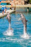Xcaret park, Mexico. XCARET, MEXICO - NOV 7, 2016: Dolphins jump in the Xcaret,  Maya civilization archaeological site, Yucatan Peninsula, Quintana Roo, Mexico Stock Photos