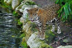 Free Xcaret Park- Riviera Maya -Mexico-The Leopard  78 Royalty Free Stock Image - 207430976