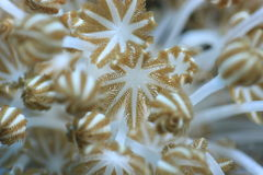 Xenia coral in coral reef Royalty Free Stock Photo