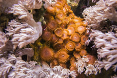Xenia Coral E Zoantharia marrone Fotografia Stock Libera da Diritti