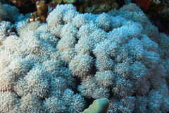 Xenia umbellate in the Red sea. Xenia umbellate, also called the pulsating Xena, in the Red sea Royalty Free Stock Photography