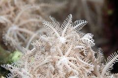 Xenid plumoso (glauca del authelia) en el Mar Rojo. fotos de archivo libres de regalías