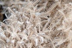 Xenid plumoso (glauca del authelia) en el Mar Rojo. imagen de archivo