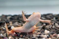Xenopus laevis (afrykanin pazurzasta żaba) Zdjęcie Royalty Free