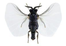 Xenos vesparum. a member of Strepsiptera Royalty Free Stock Photos