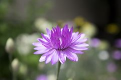 Xeranthemum annuum, immortelle éternel annuel en fleur photographie stock